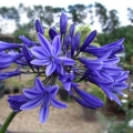 Agapanthus Jacks Blue